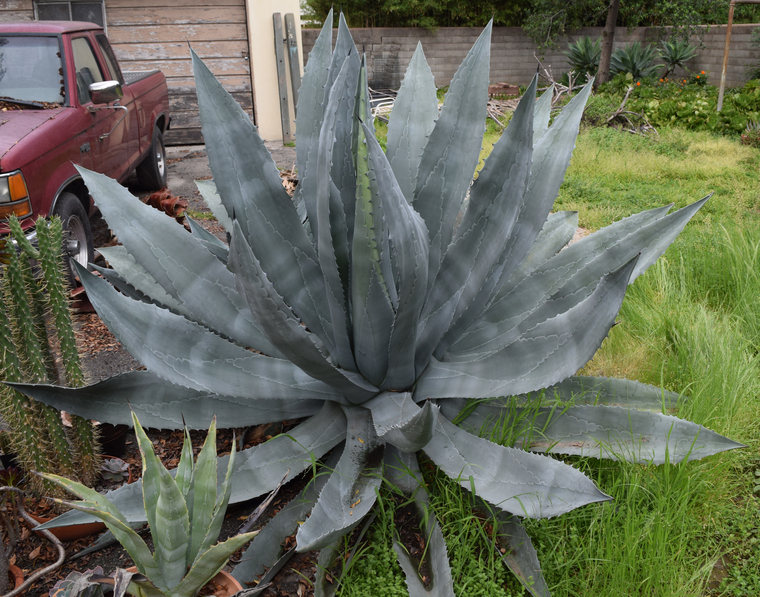 Giant Agave