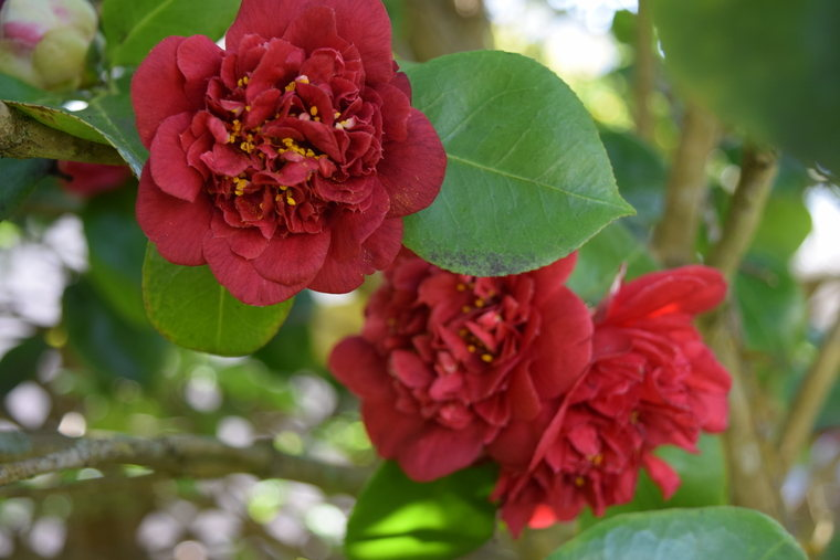 "Camellia Japonica ""Firefall Red"""