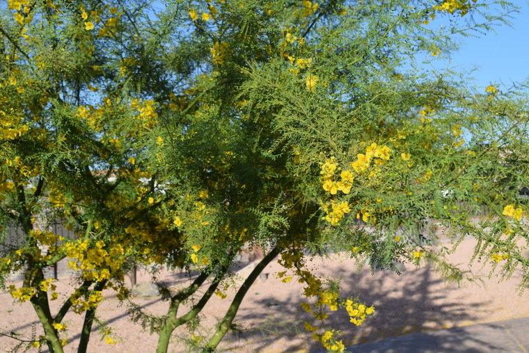 desert flower - yellow shrub