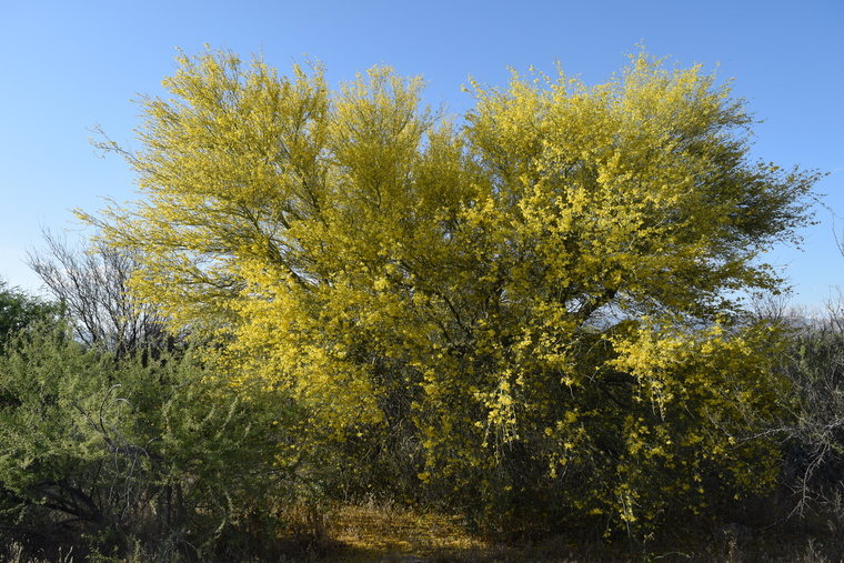 desert flower - yellow tree