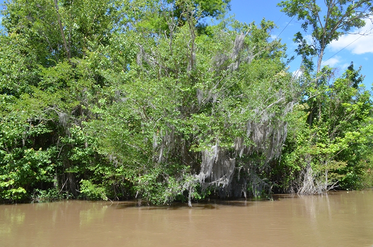 nature - swamp - Louisiana